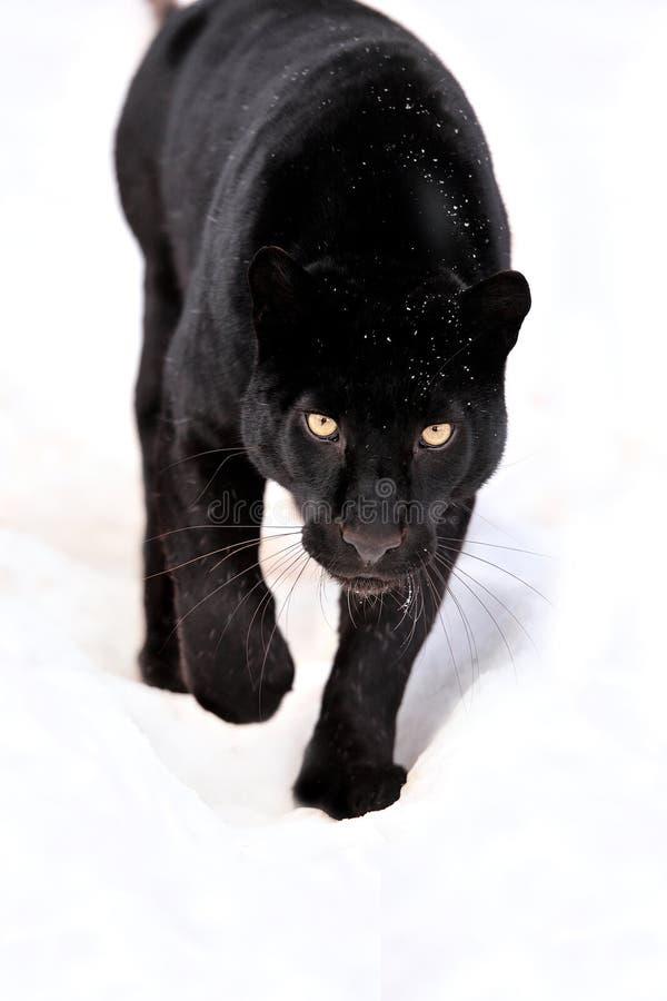 Leopard portrait. Close-up black leopard on snow royalty free stock photos
