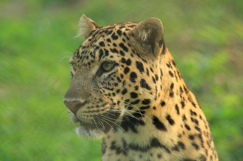 Leopard. Portrait of the cool Leopard in Cooch Behar.(India stock photography