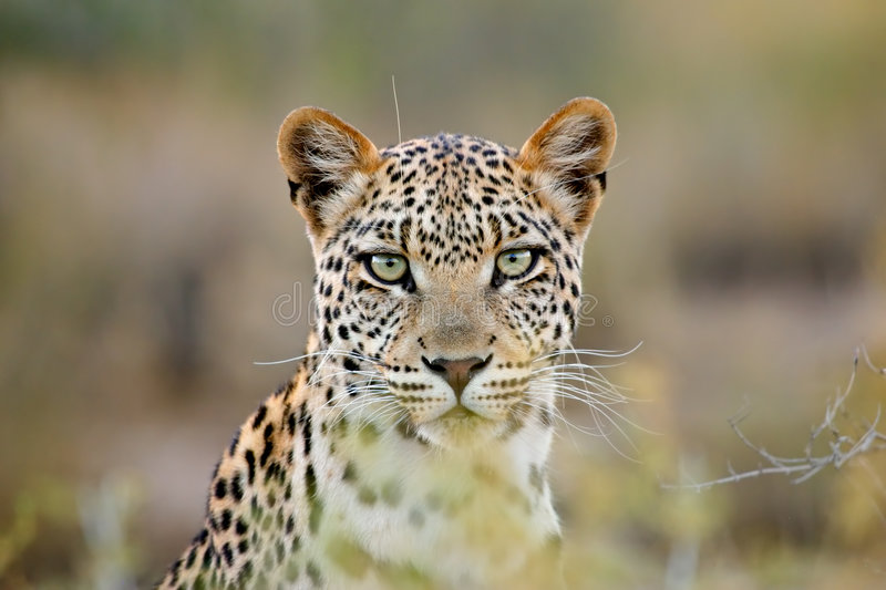 Leopard portrait, Kalahari desert, South Africa stock photo