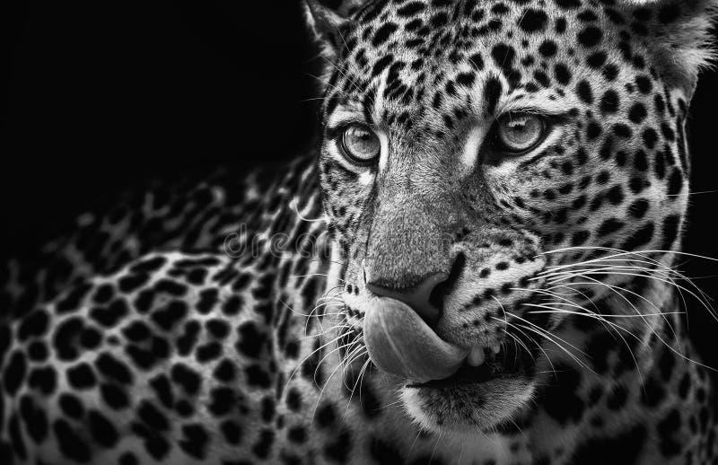 Leopard portrait på mörk bakgrund Panthera pardus kotiya, rovdjur royaltyfria bilder