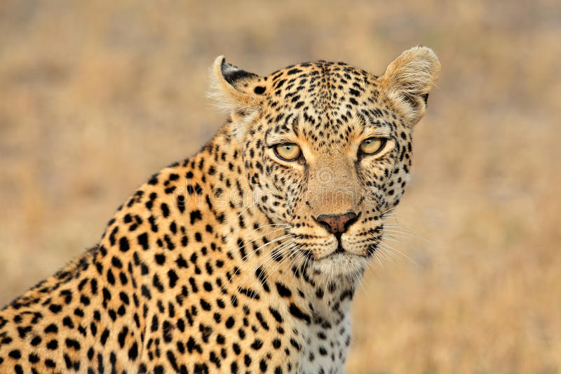 Leopard portrait royalty free stock photo