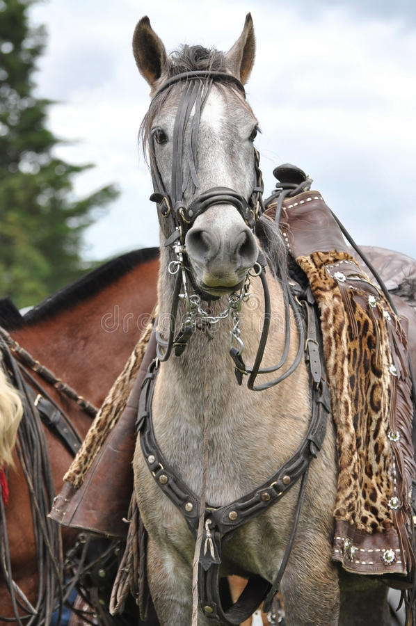 Leopard print chagra pony. A chagra pony at a local rodeo in Ecuador waiting for his rider, with leopard print chaps stock photography