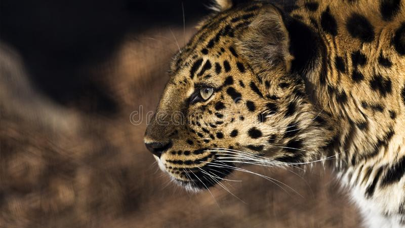 Leopard profile. Close up portrait of a leopard in profile royalty free stock images