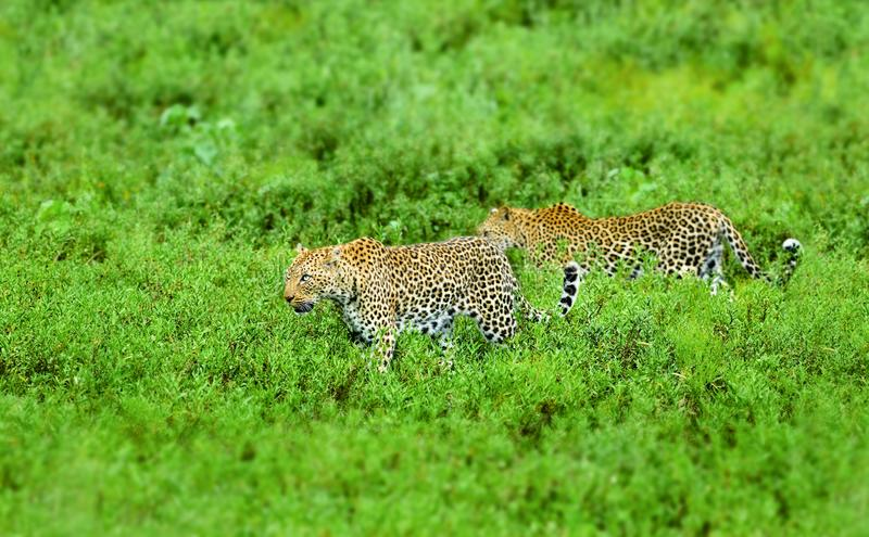 Leopard on the prowl. Male and female royalty free stock photos