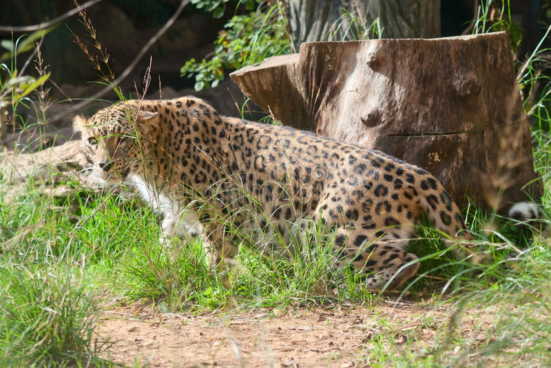 Download Leopard prowls stock photo. Image of pardus, look, yellow - 26047478