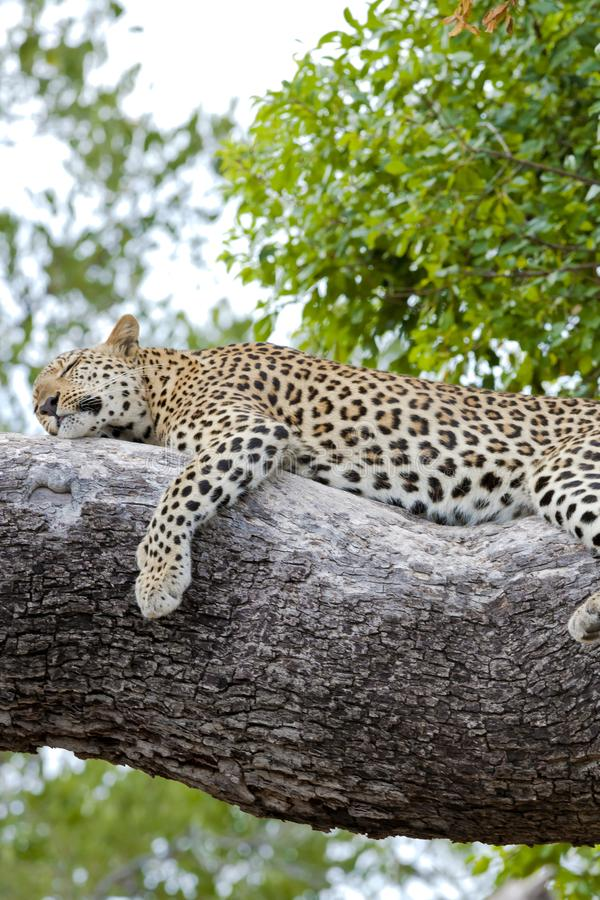 Leopard relaxed lying on tree - Wallpaper - offline. A young leopard relaxed lying on a big tree in Botswana - wallpaper offline royalty free stock photography