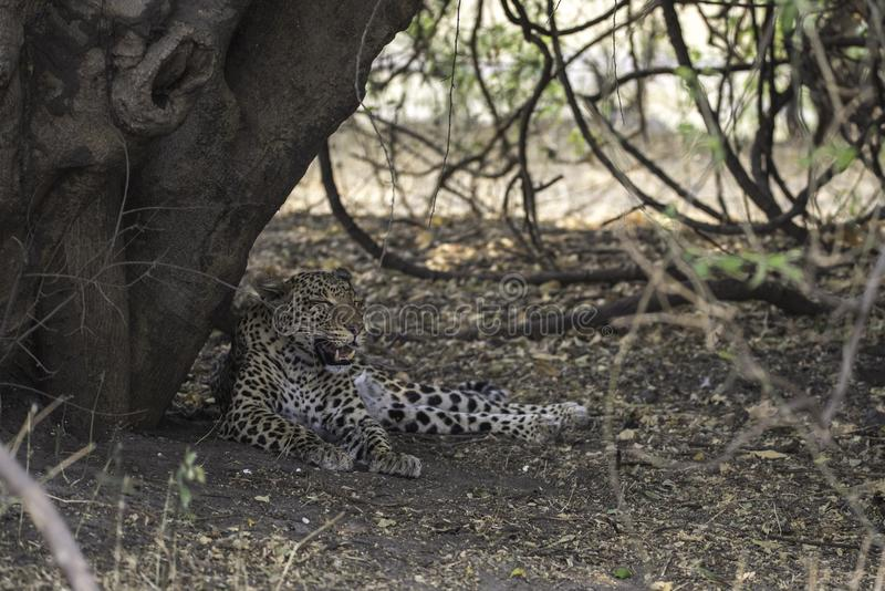 Leopard resting after a kill and good meal. At the Choberiver in Botswana stock photos