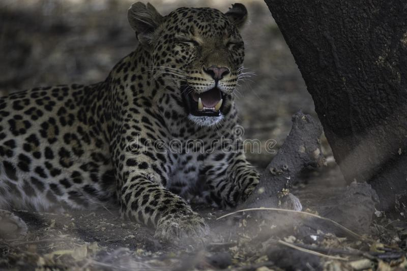 Leopard resting after a kill and good meal. At the Choberiver in Botswana stock photo