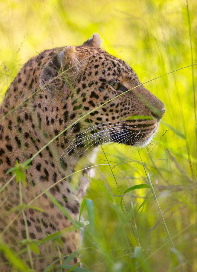 Download Leopard Resting In Savannah Stock Photo - Image: 12188446