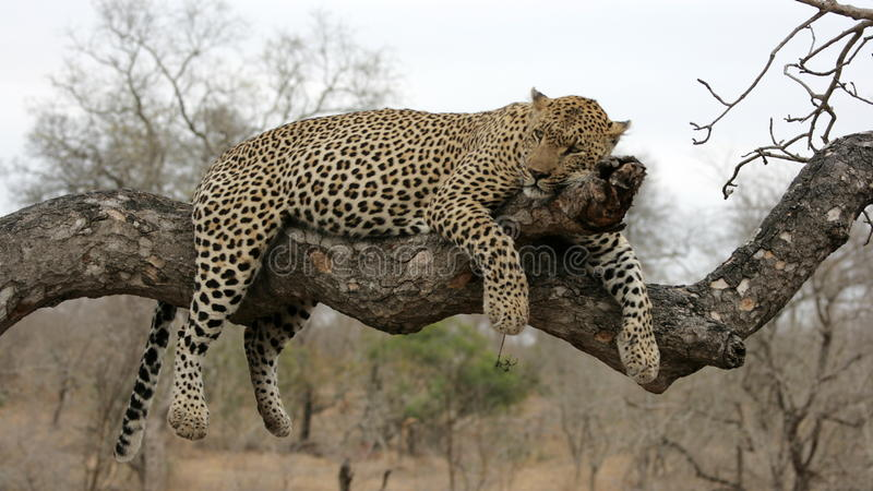 Download Leopard resting in tree stock photo. Image of greater - 10469990