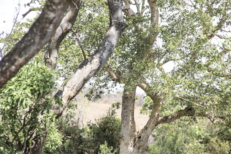 Leopard resting on tree branch, Kruger National Park, South Africa. Leopard resting on a tree branch, as seen in Kruger National Park, South Africa stock photo