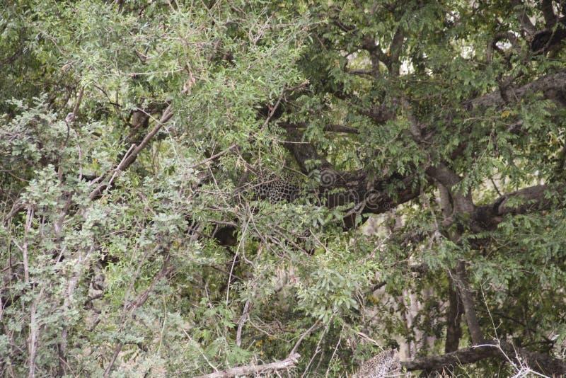 Leopard resting on tree branch, Kruger National Park, South Africa. Leopard resting on a tree branch, as seen in Kruger National Park, South Africa stock images