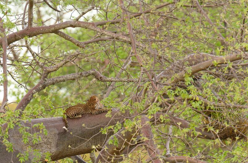 Leopard resting up a tree in Tarangire royalty free stock photo