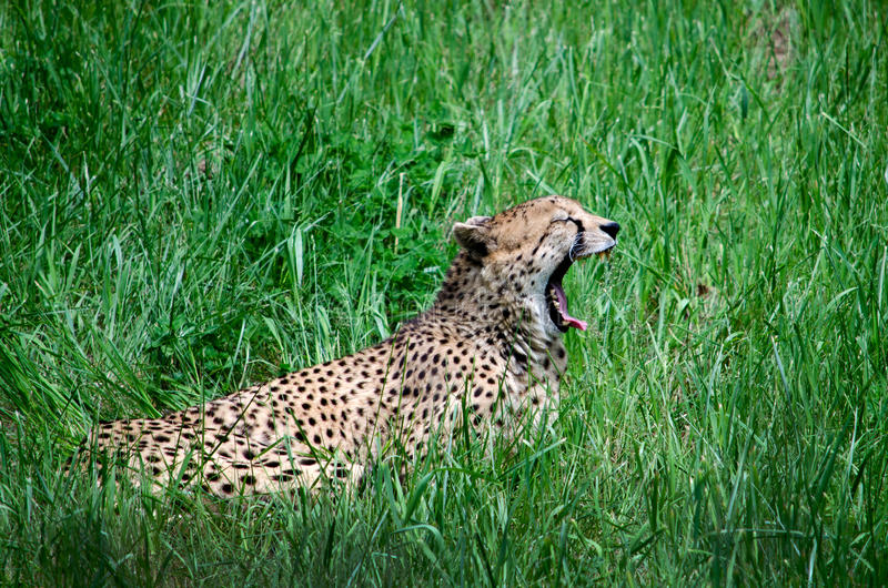 Leopard roar. A leopard roars as she lies in the grass. calling a mate? or just sounding off stock images