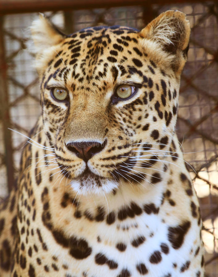 leopard s ματιών στοκ φωτογραφίες