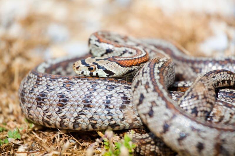 Leopard-Schlange lizenzfreie stockfotografie