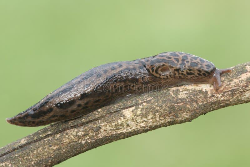 Leopard-Schnecke (Limax maximus) lizenzfreie stockbilder
