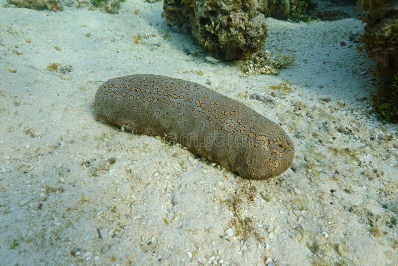 A leopard sea cucumber animal Bohadschia argus. A leopard sea cucumber animal, Bohadschia argus, underwater on the ocean floor, Tahiti, Pacific ocean, French royalty free stock image