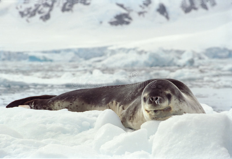 Download Leopard Seal stock photo. Image of carnivore, leopard, aquatic - 17860