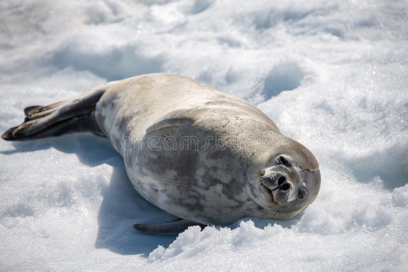 Leopard seal on beach with snow in Antarctica stock photos