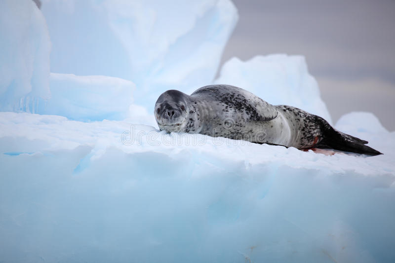 Leopard seal on iceberg, Antarctica royalty free stock images