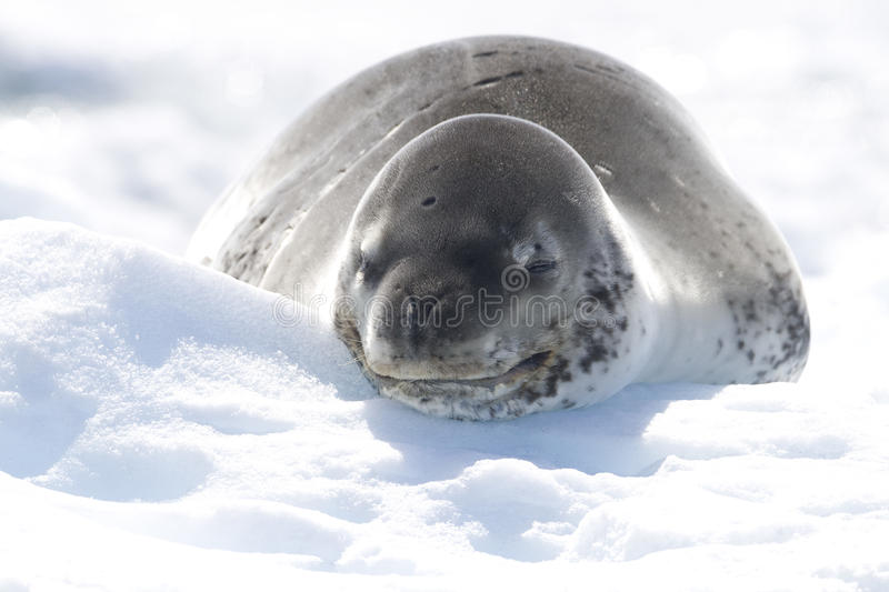 Download Leopard Seal On Icerberg, Antarctica Royalty Free Stock Photos - Image: 23299708
