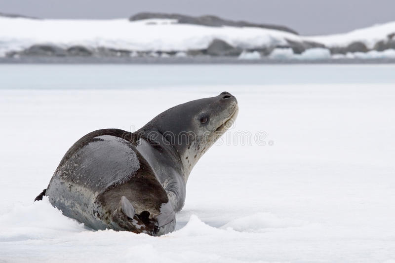 Download Leopard seal looking up stock image. Image of lying, attention - 10406259