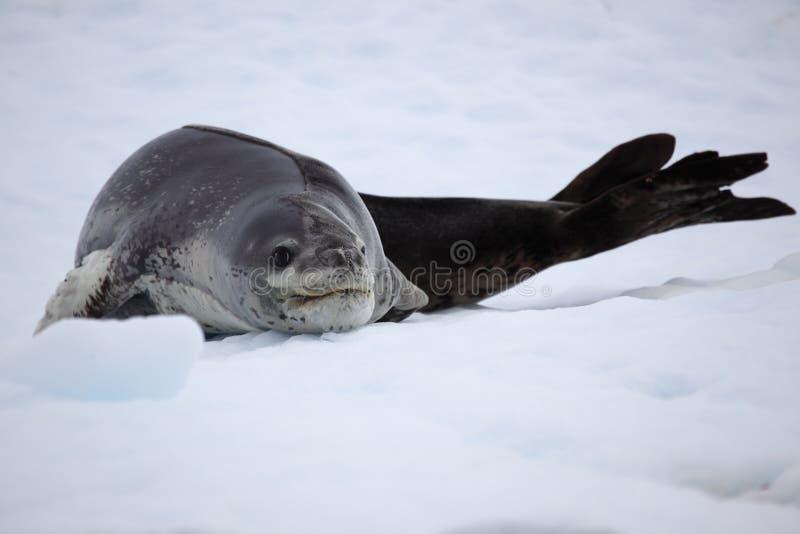 Leopard seal resting on ice floe, Antarctica stock image