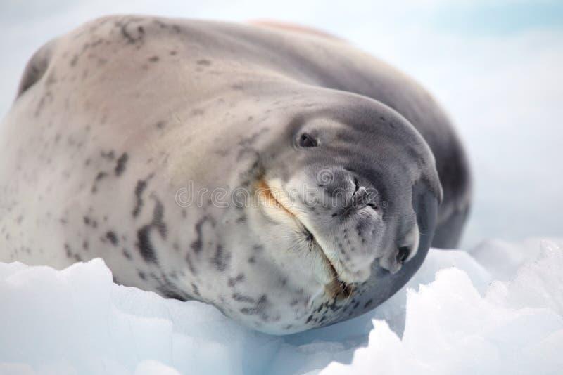 Leopard seal smile, Antarctica royalty free stock photo