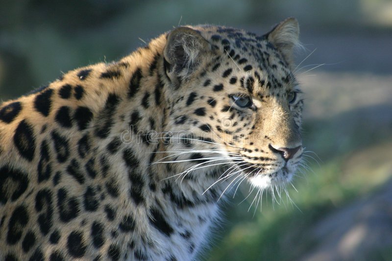 Leopard In The Shade royalty free stock photography