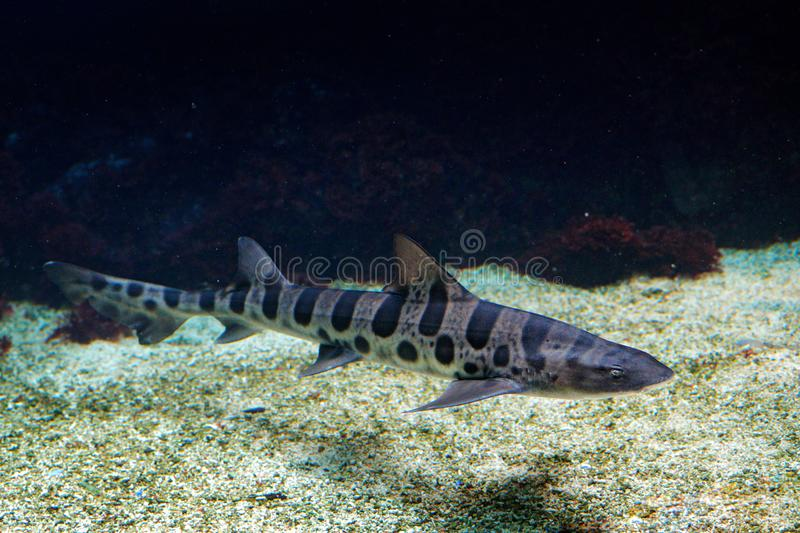 Leopard shark, Triakis semifasciata, is a species of houndshark, family Triakidae. from the Pacific coast of North America. Animal. In the sea habitat, wildlife royalty free stock image