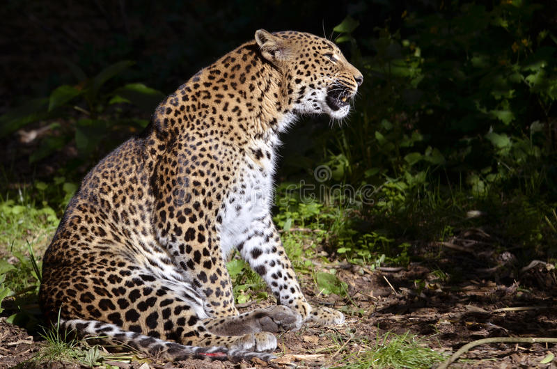 Leopard sitting stock image