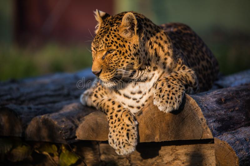 Leopard sitting alone on logs royalty free stock image