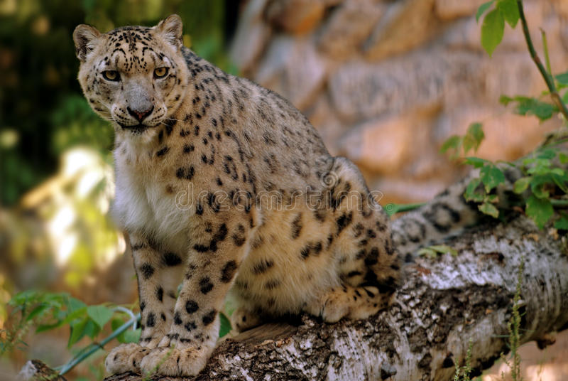 Leopard. Sitting on a birch log royalty free stock photography