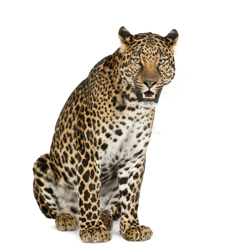 Leopard sitting, roaring, Panthera pardus stock photo