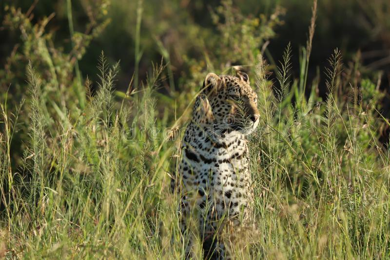 Leopard sitting in tall grass in the african savannah. Leopard sitting in the tall grass of the Maasai Mara National Reserve, in Kenya royalty free stock photo