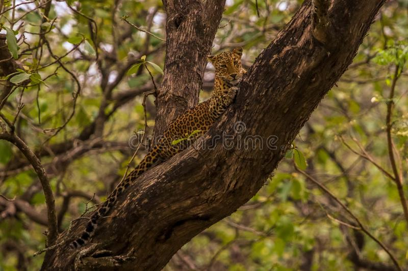 Leopard sitting on the tree and staring its visitors royalty free stock photo