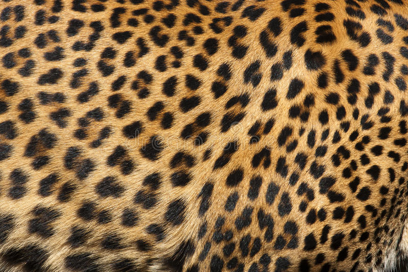 Download Leopard Skin stock photo. Image of hairs, fauna, animal - 18834922