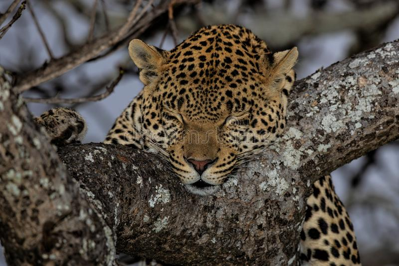 Leopard sleeping royalty free stock images