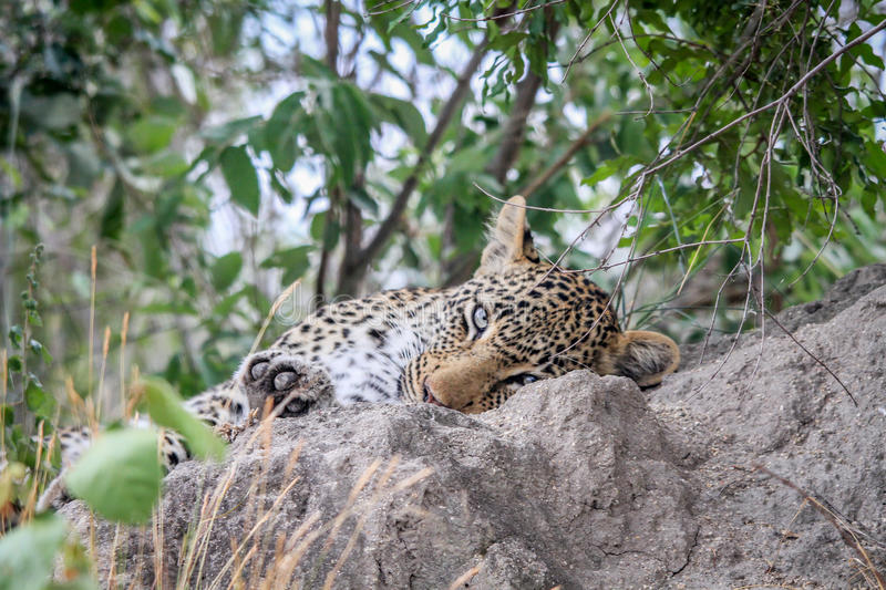 Download Leopard Sleeping On A Termite Mount. Stock Image - Image: 83724421