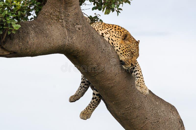 Leopard sleeping on the tree royalty free stock photo