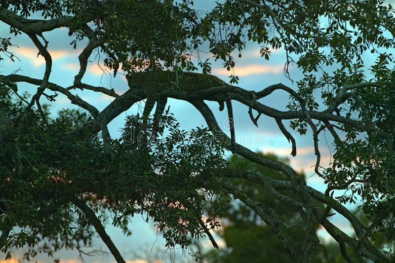 Download Leopard Sleeping In Tree At Sunset In Masai Mara In Kenya, Africa Stock Image - Image of africa, national: 52318231