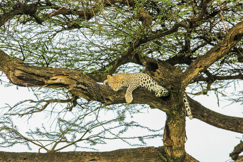 Leopard sleping royalty free stock image