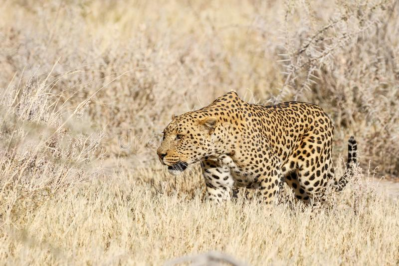 Leopard hunts a springbok. A leopard sneaks through the bush as he hunts a springbok stock photos