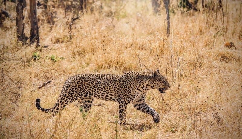 Leopard som förföljer med full koncentration och fokusen royaltyfri bild