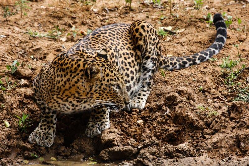 Leopard som från sidan ser fotografering för bildbyråer