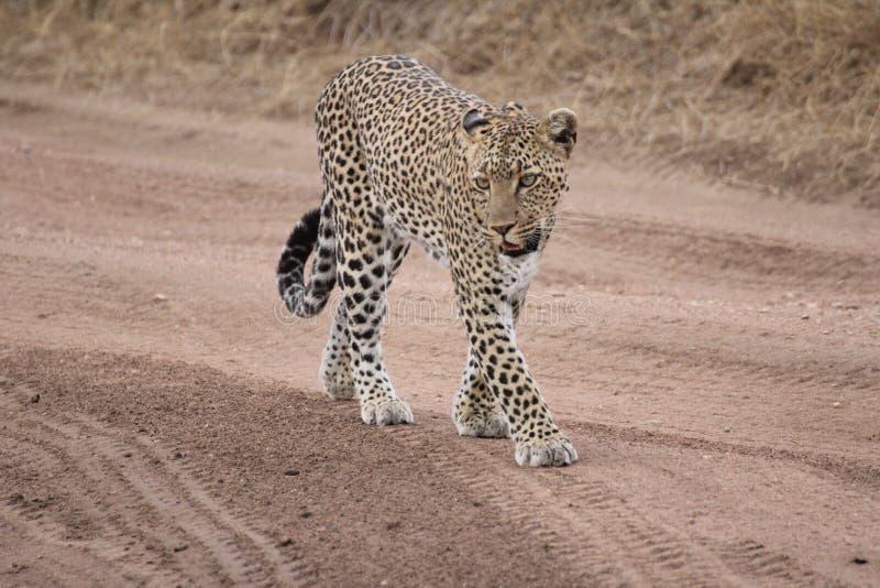Leopard som går på en slinga i savannahen arkivbild