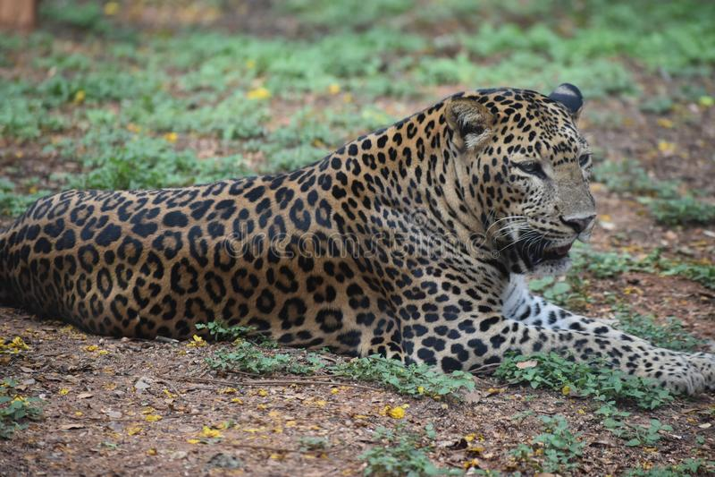 Leopard som kopplar av i klassisk blick i skog royaltyfria foton