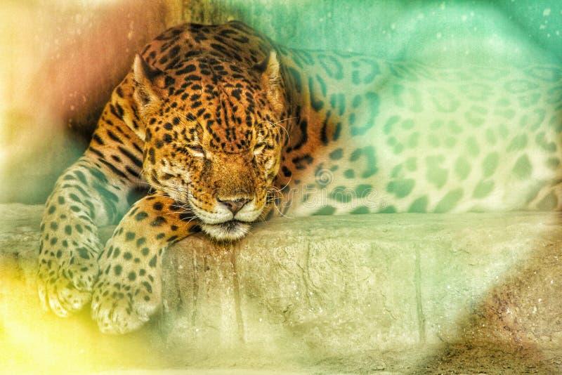 Leopard som kopplar av i zoo arkivbilder