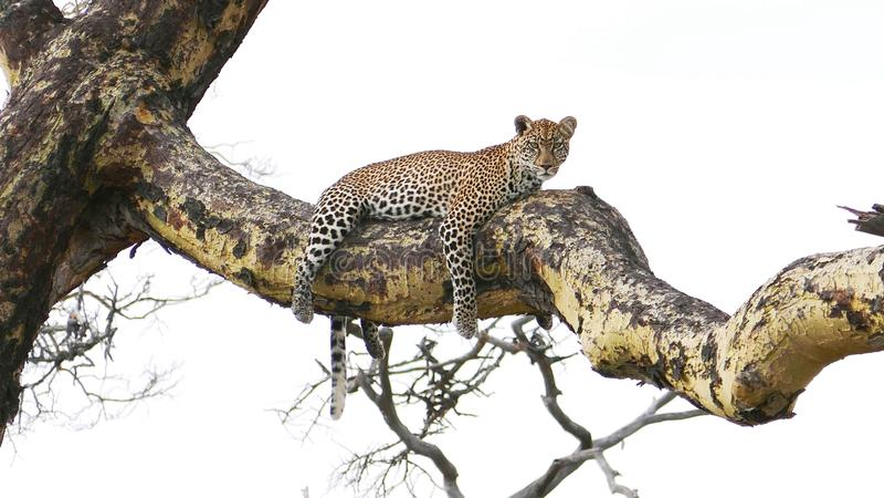 Leopard som ligger på trädet arkivbild